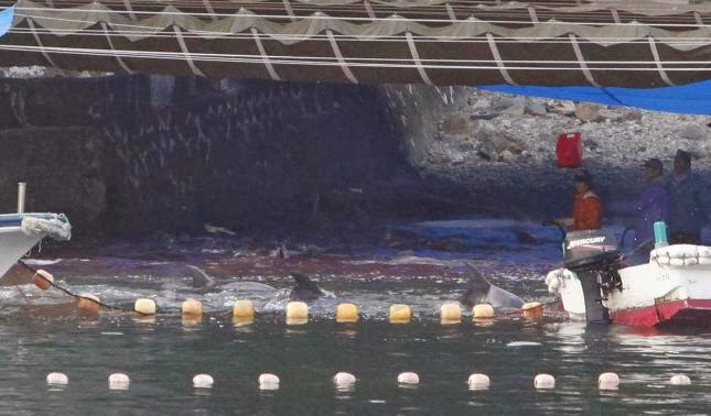 Japanese fishermen slaughter terrified dolphins.. then cover their shame under giant tarpaulins