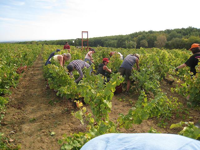 harvesting gobelet vine training in italy