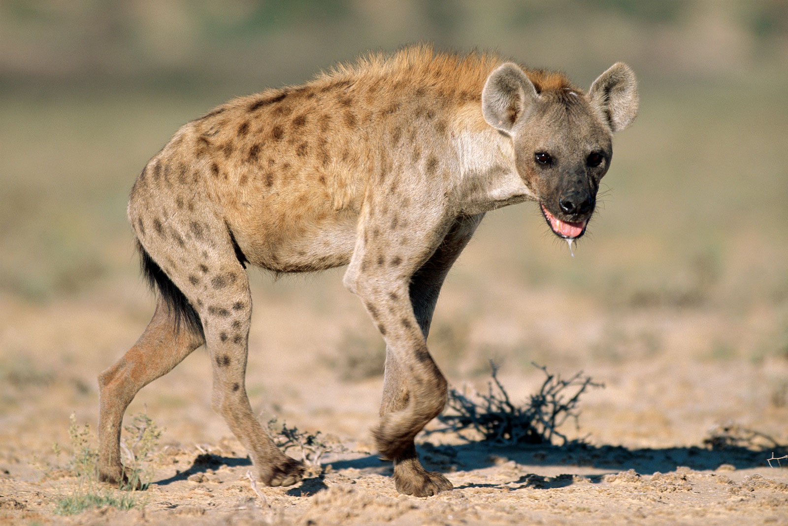 Hyena | The Biggest Animals Kingdom