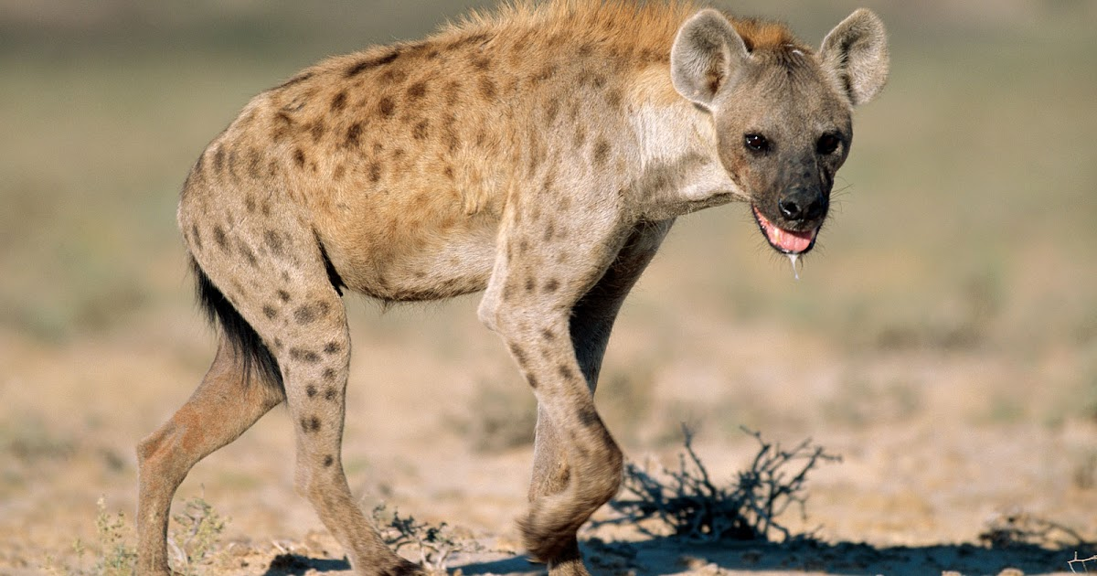 Hyena The Biggest Animals Kingdom