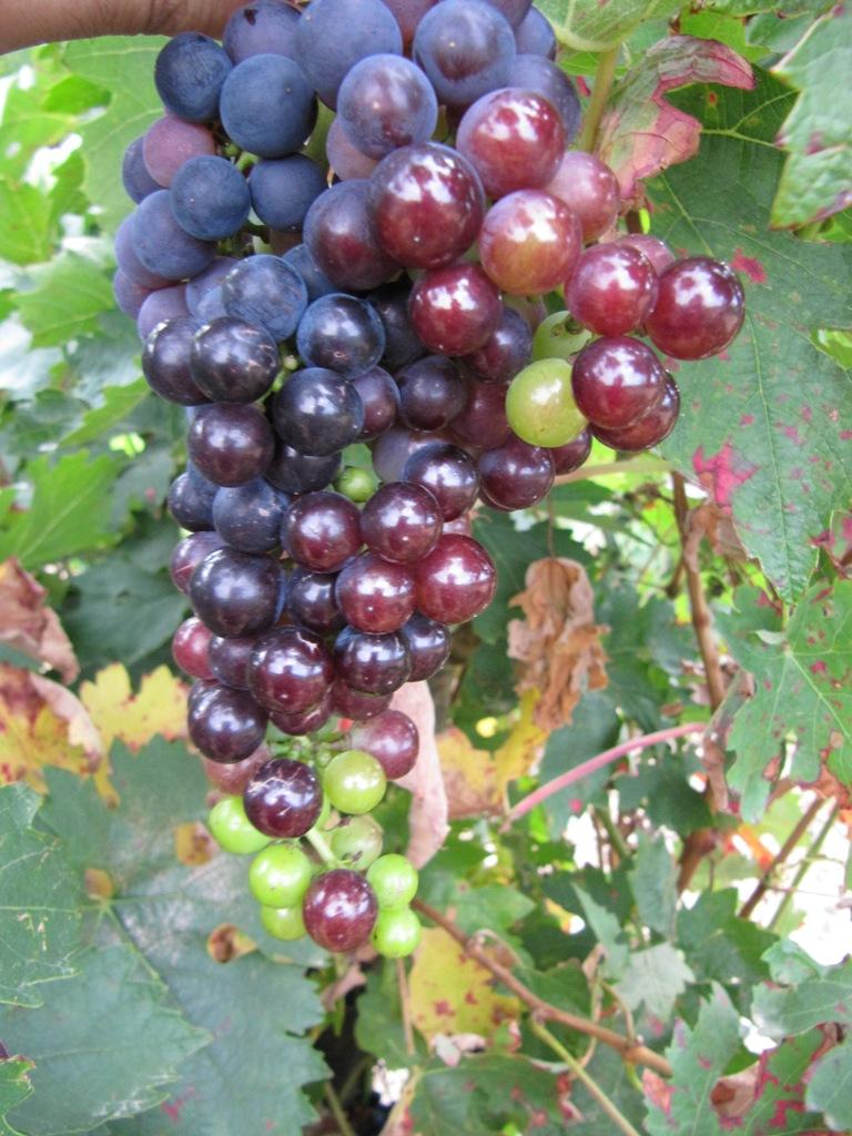 Vinos y Viñedos: Desarrollo del Racimo de Uvas