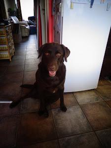 Mijn Labrador