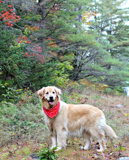 Golden retriever with fall foliage - www.goldenboysandme.com