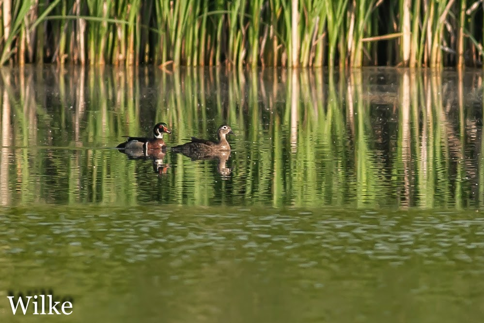Wood Ducks at dawn