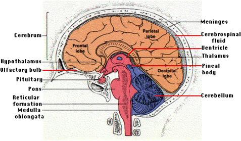 Anatomical Brain Model5