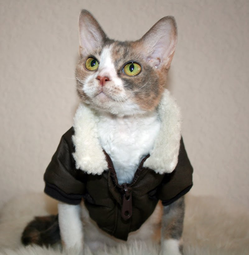 Daisy the Curly Cat: My Bomber Jacket!