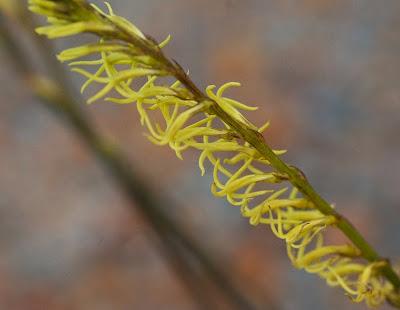 Stackhousia huegelii