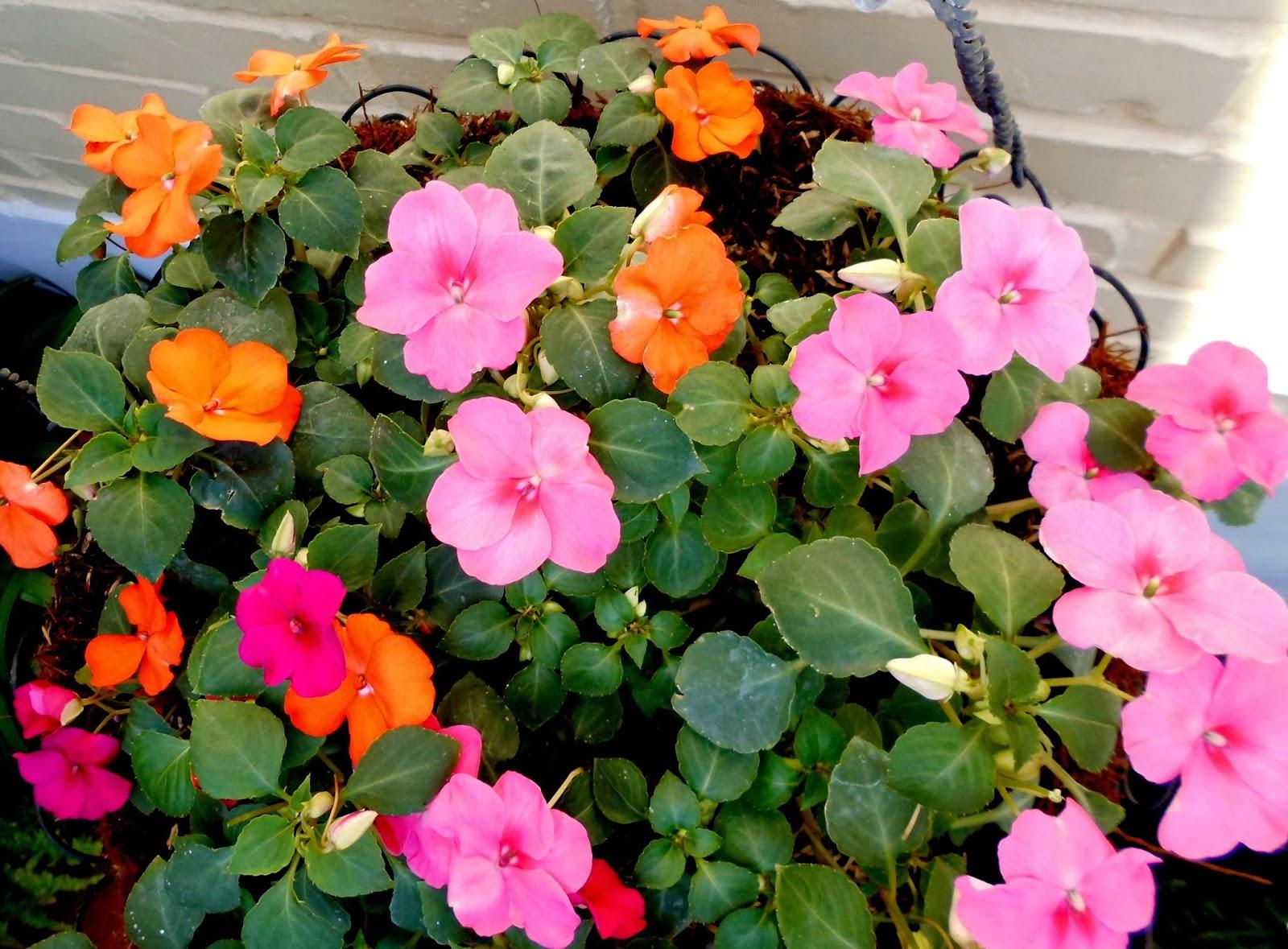 Soluciones para el hogar y el amor flores de alegr as del - Planta alegria de la casa ...