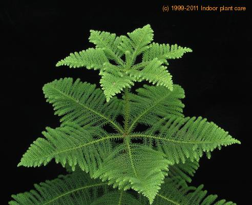 Araucaria HETEROPHYLLA - Интернет-магазин - Адениум дома: от семян до растений. Выращивание и уход.