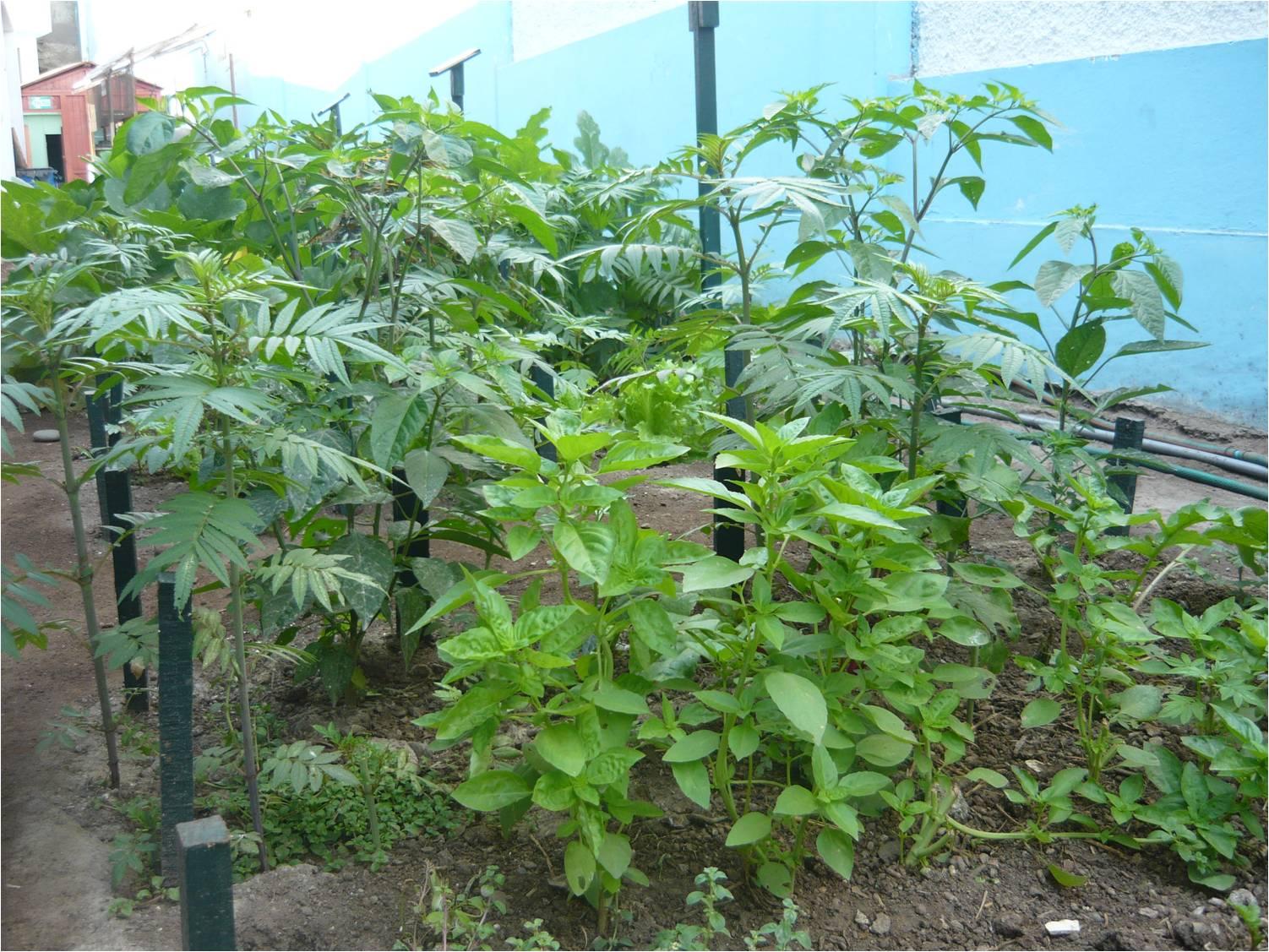 Alternativa ecol gica consideraciones a tomar en cuenta for Asociacion de cultivos tomate
