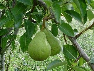 Health Benefits of Avocado Leave
