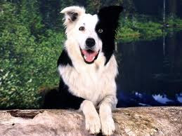 El Border Collie
