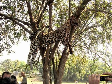 Harimau bintang dipukul dan digantung pada pokok