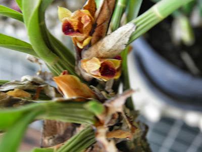 Orquídeas; mini orquídeas