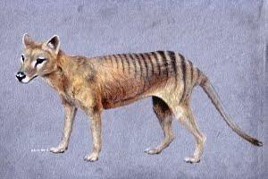 thylacine Thylacinus cynocephalus tasmanian tiger tasmanian wolf beutelwolf buidelwolf tasmaanse tijger tasmaanse wolf australia