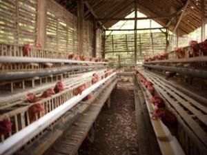 Teknik beternak ayam petelur - Ayam petelur adalah ayam betina yang