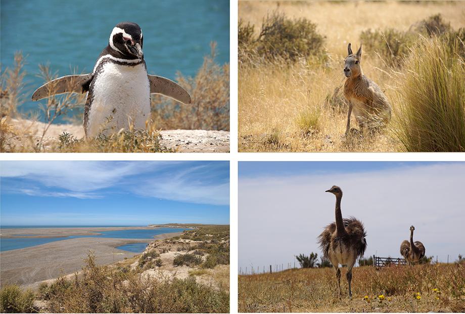 Ynas Reise Blog, Argentinien, Reisetagebuch, Peninsula Valdes, Pinguine, Maras, Nandus