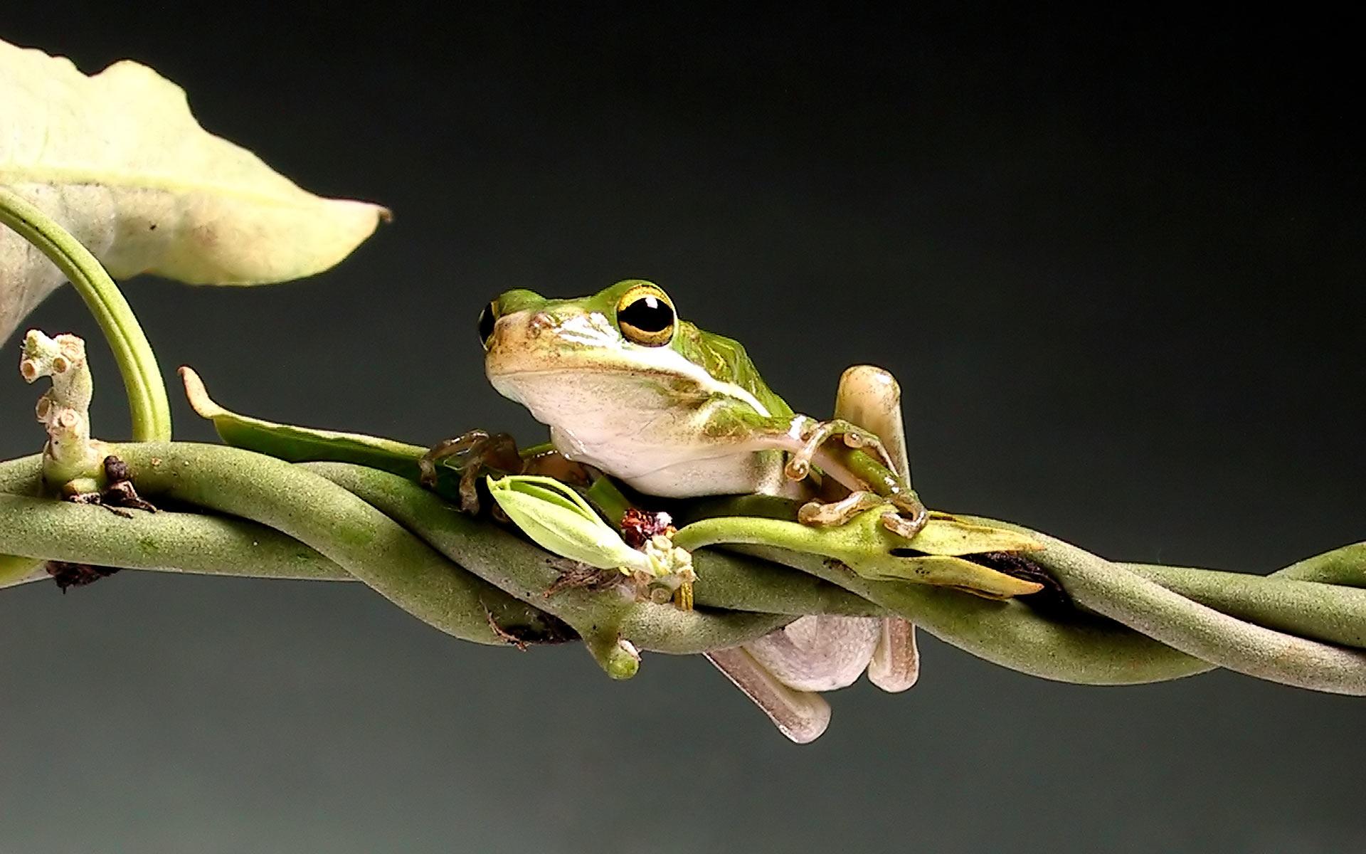 http://1.bp.blogspot.com/-_OCiWWxxkIs/UJ4xxyLRsLI/AAAAAAAAGC8/9C-xAab-Nz4/s1920/Agalychnis_callidryas_Red-eyed_tree_frog_-1200.jpg