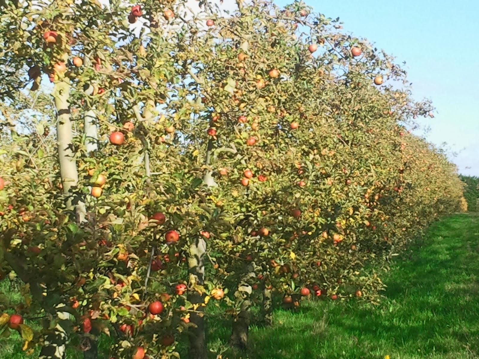 Verger bio de lou tre une ann e au verger les vari t s de l 39 automne - L arbre le pommier ...