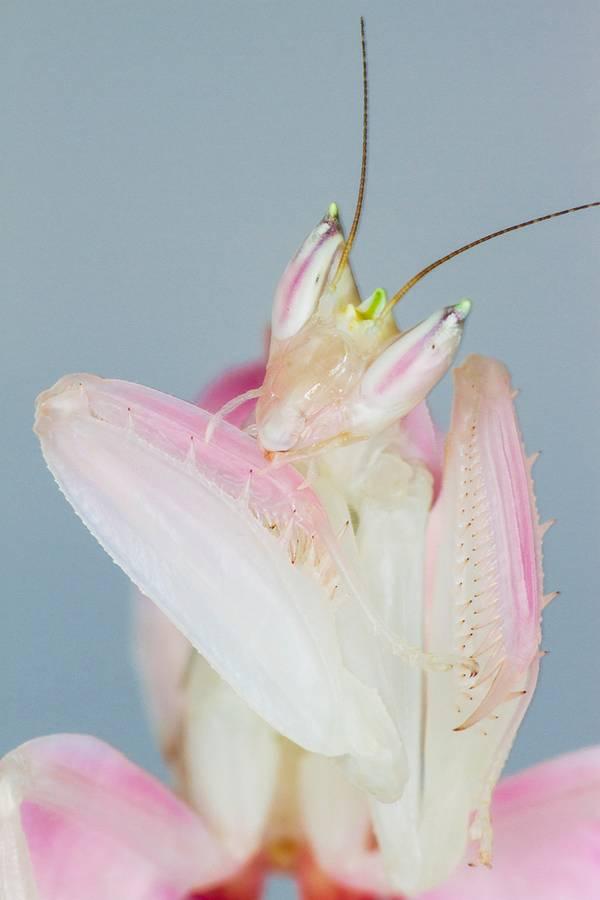 حشرة تماثل أزهار الأوركيد الوردية