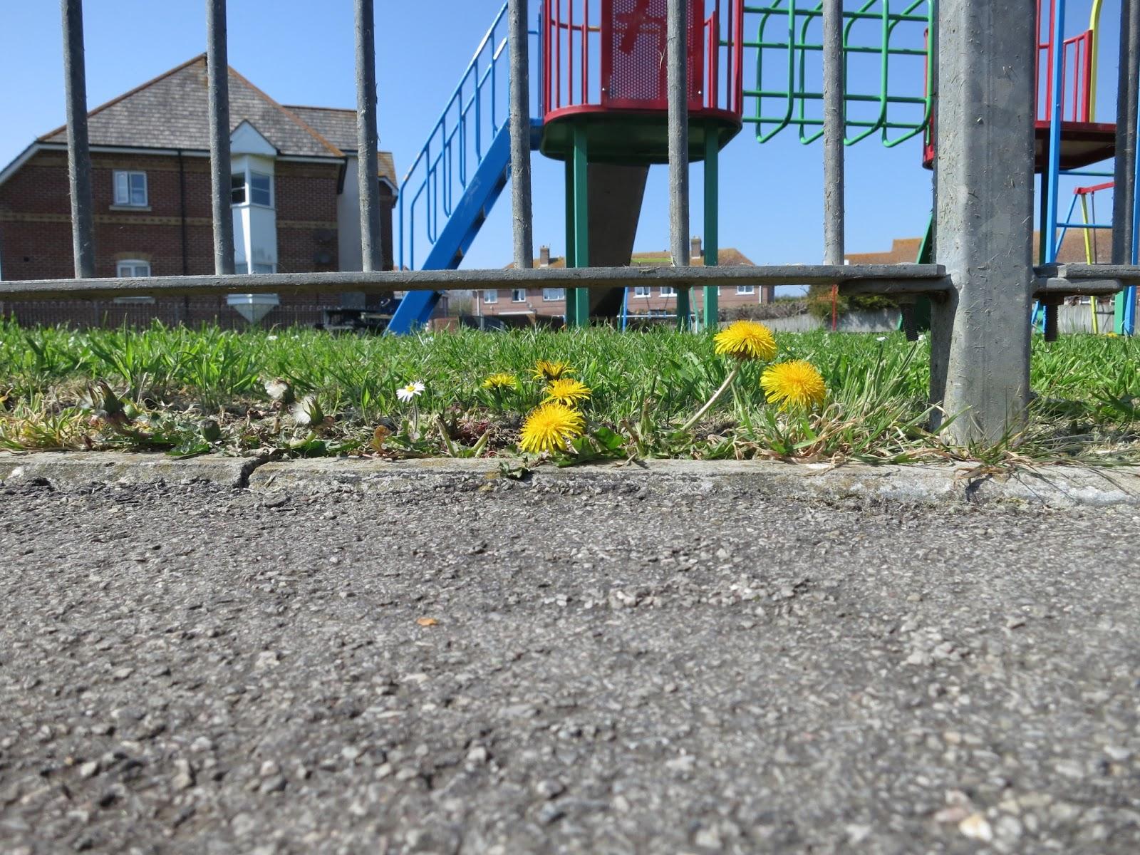 Dandelions where playground and pavement meet