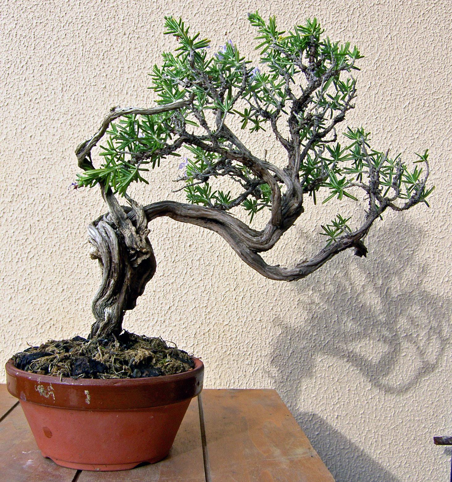 Bonsai planta romero - Bonsai verdecora ...