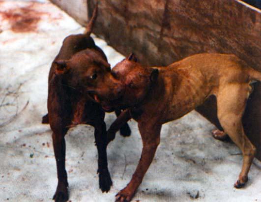 pit bull fighting photos