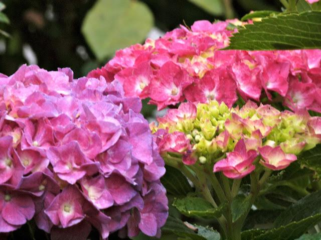 Hydrangea, Conservatory Garden, Central Park, 2012