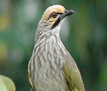 burung cucakrowo memilki bulu berwarna abu abu dan bers