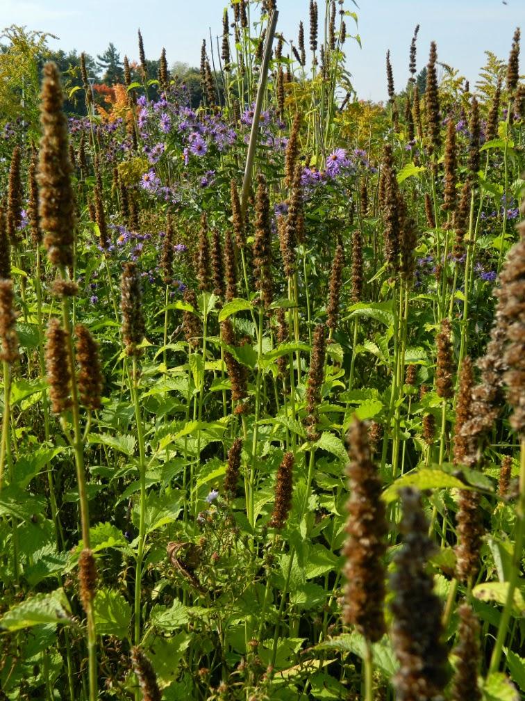 Giant hyssop Agastache foeniculum Toronto Botanical Garden by garden muses-not another Toronto gardening blog