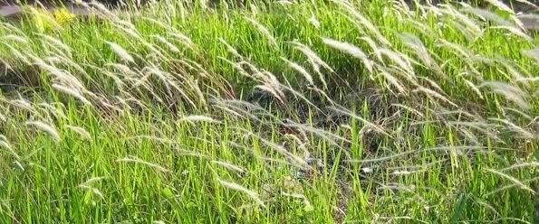 Rumput Ilalang Untuk Kesehatan