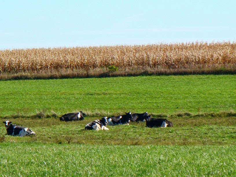 cows lazing in the afternoon sun photo