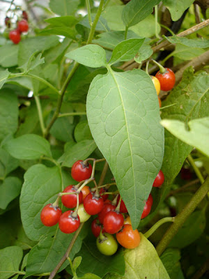 Bittersweet Nightshade (Solanum dulcamara) berries