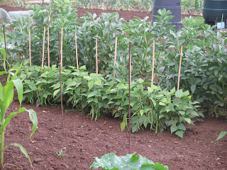 broad beans, selection of french beans, no pea and no mange-tout