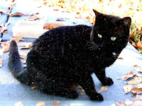 stray black cat of mandarin