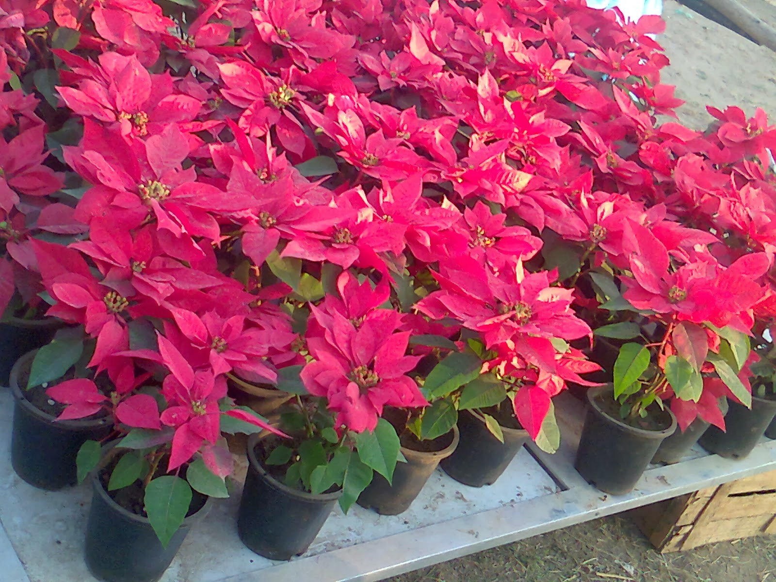 red poinsettia flower show ahmedabad