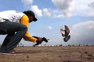 Tips merawat dan melatih burung merpati balap