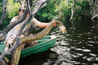 Predator_Sungai_Amazon_Anaconda