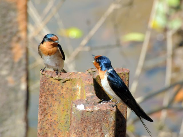 Welcome Swallows, Chatting