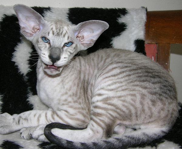 Artomega Peterbald Kucing Unik Termahal Di Dunia