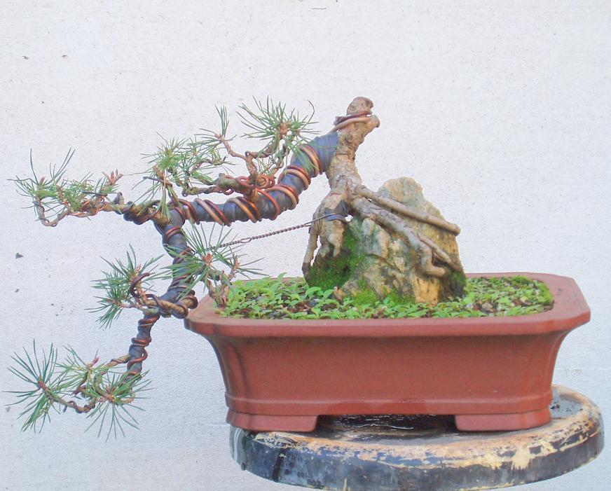 Como cuidar un bons i tipos de bons i - Como cuidar un bonsai ...