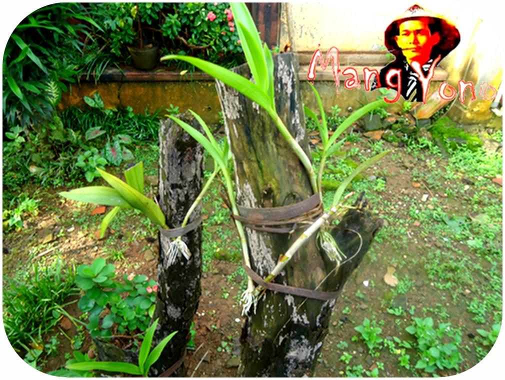 Anggrek ditempel di pohon yang sudah mati