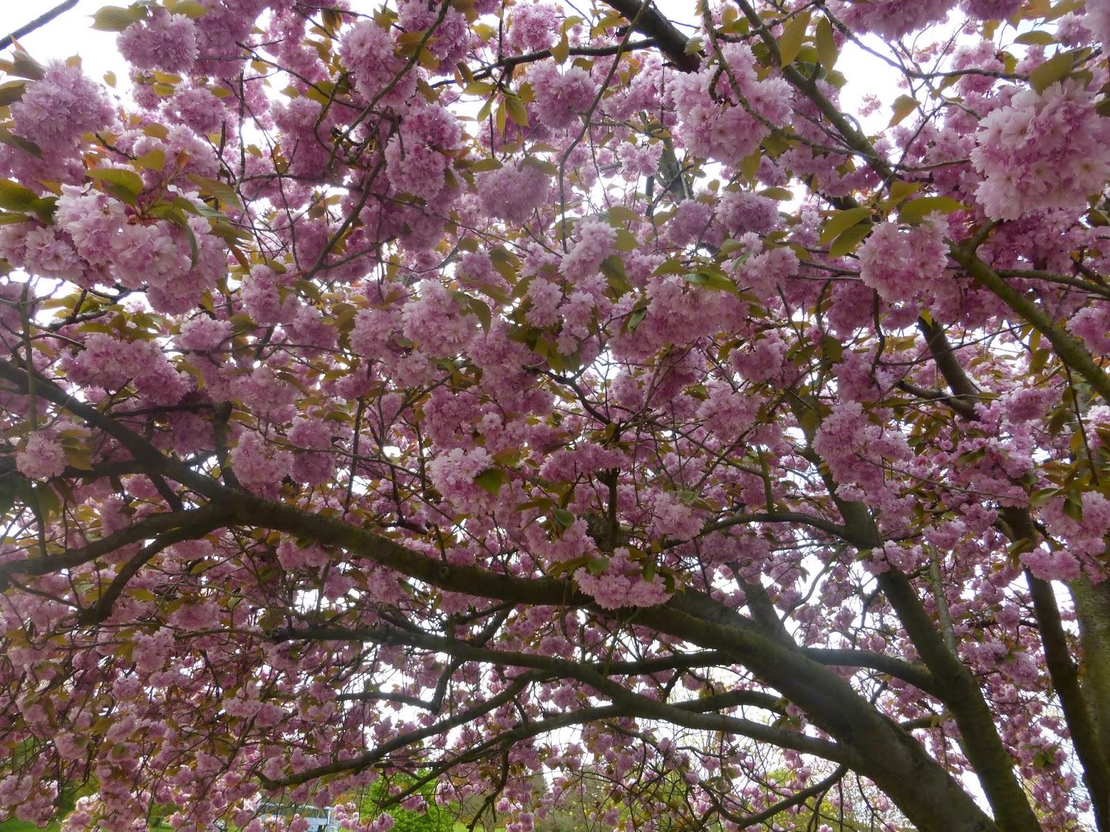 University Of Nottingham. Highfields Park. Blossom Trees