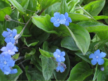 Omphalodes cappadocica-Navel-seed