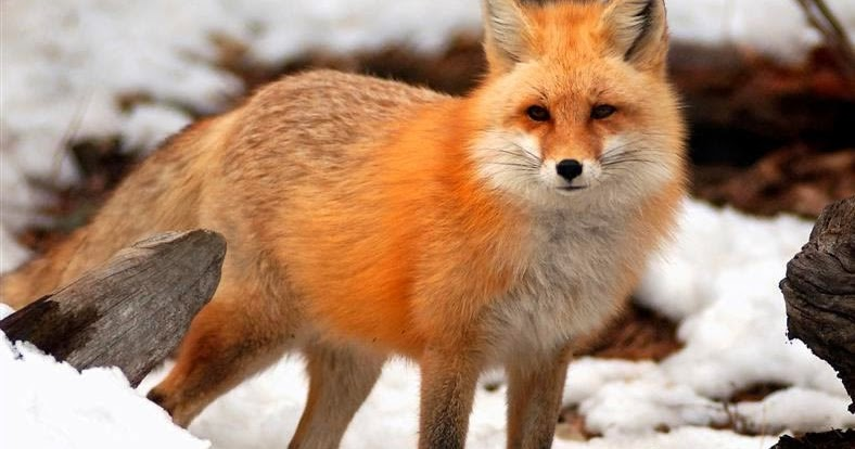 interesting facts about red foxes