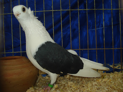 Polish Owl fancy pigeon