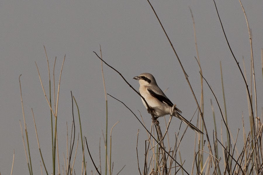 Mauryan (Steppe) Grey Shrike