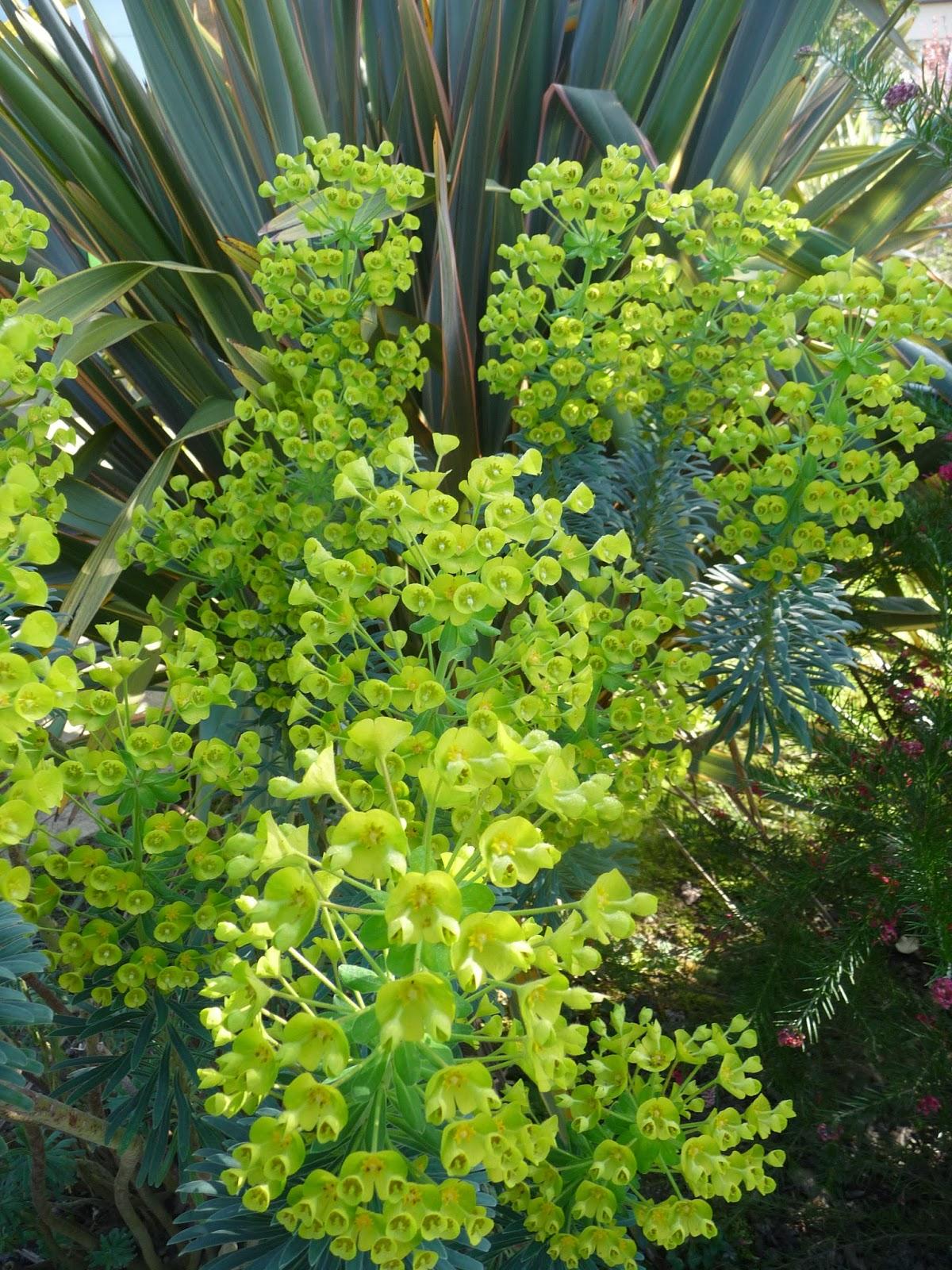 Ma Planete Jardin Le Pittosporum Tenuifolium Panache Un Arbuste