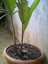 Pohon kelapa cabang 2 ( kramat dan bertuah )