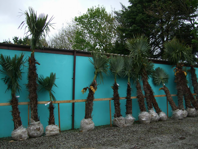 Trachycarpus fortunei palms
